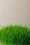 Erba del grano Coltivazione e giardinaggio urbani Immagini Stock Libere da Diritti