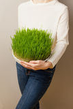 Erba del grano Coltivazione e giardinaggio urbani Fotografie Stock