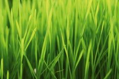 Erba del grano germogliata nuovo verde - alimento Fotografia Stock Libera da Diritti