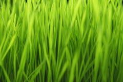 Erba del grano germogliata nuovo verde - alimento Fotografie Stock