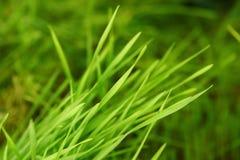 Erba del grano germogliata nuovo verde - alimento Fotografia Stock