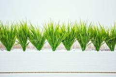 Erba del grano in vaso di legno bianco sui precedenti bianchi in ufficio immagini stock libere da diritti