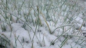 Erba del prato inglese nella neve Immagini Stock Libere da Diritti
