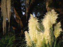 Erba del tipo di piuma del sole della savana Fotografia Stock