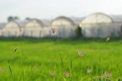Erba dell'isolato con il fondo dell'azienda agricola della serra Fotografia Stock