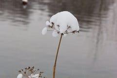Erba dell'ombrello goutweed nella neve Fotografie Stock Libere da Diritti
