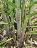 Erba della canna da zucchero Fotografia Stock