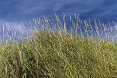 Erba della duna Sabbia di Cata, Sanday, Orkney, Scozia Immagine Stock