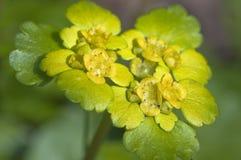 Erba della milza - alternifolium di Chrysosplendium Immagine Stock