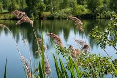 Erba della palude del lago Fotografia Stock Libera da Diritti