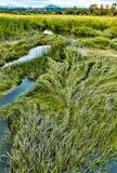 Erba della palude di estate alle aree umide dell'isola dei tre-quarti anteriori Immagine Stock