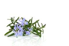 Erba della Rosemary in fiore Fotografia Stock Libera da Diritti