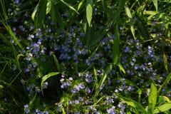 Erba della steppa con i fiori di estate Chamaedrys del Veronica immagine stock