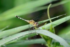Erba della tenuta della libellula. Fotografia Stock