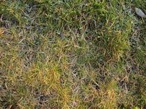 Erba di autunno con i colori verdi e gialli Fotografia Stock