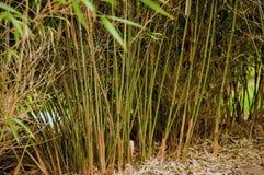 Erba di bambù Fotografie Stock Libere da Diritti