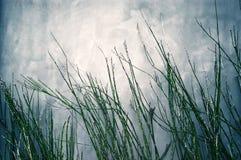 Erba di bambù Fotografia Stock