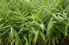 Erba di bambù Immagini Stock