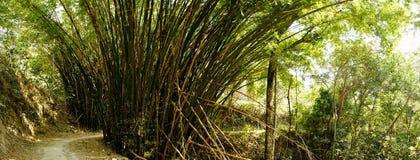Erba di bambù in Minca, Colombia Fotografie Stock Libere da Diritti