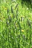 Erba di coda di volpe Fotografia Stock