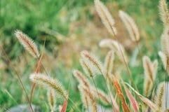 Erba di coda di volpe in primo piano fotografie stock
