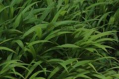 Erba di colore verde nel giardino Fotografia Stock