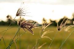 Erba di dito gonfiata dell'erba di dito con erba verde confusa e fotografia stock libera da diritti