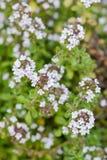 Erba di erbe di giardinaggio organica della regina dell'argento della pianta del timo in primo piano dei fiori bianchi della fior Fotografia Stock