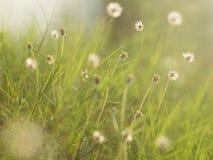 Erba di estate al giardino con il chiarore della luce morbida, fondo della natura Immagini Stock