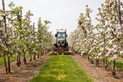 Erba di falciatura in frutteto sbocciante in Olanda Fotografia Stock Libera da Diritti
