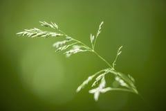Erba di fioritura su verde Immagini Stock