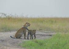 Erba di fiuto della madre e del cucciolo del leopardo ai masai Mara National Park nell'uguagliare le ore Fotografia Stock Libera da Diritti