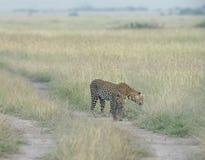 Erba di fiuto della madre e del cucciolo del leopardo ai masai Mara National Park nell'uguagliare le ore Fotografia Stock