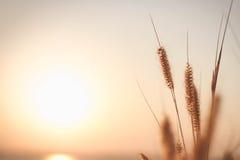 Erba di missione o pennisetum della piuma e tramonto, ambiti di provenienza d'annata Fotografie Stock Libere da Diritti