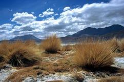 Erba di pampa in Bolivia, Bolivia Fotografia Stock