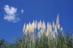 Erba di pampa con il cielo blu Fotografie Stock Libere da Diritti