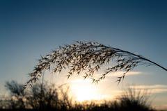 Erba di pampa di selloana di Cortaderia con un bello tramonto nei precedenti fotografia stock