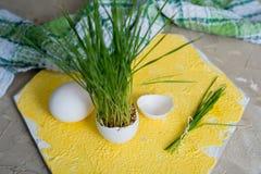 Erba di Pasqua che cresce nelle coperture dell'uovo, fuoco basso, fondo giallo, uova bianche in un canestro su un fondo di legno Fotografia Stock Libera da Diritti