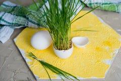 Erba di Pasqua che cresce nelle coperture dell'uovo, fuoco basso, fondo giallo, uova bianche in un canestro su un fondo di legno Fotografia Stock