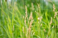 Erba di prateria con erba alta nel fondo Fotografia Stock
