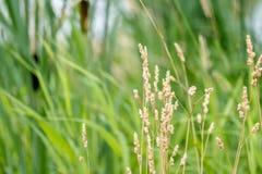 Erba di prateria con erba e Cattails alti nel fondo Fotografia Stock Libera da Diritti
