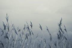 Erba di Reed in fioritura, phragmites australis scientifico di nome, vago deliberatamente, ondeggiante delicatamente nel vento su immagine stock