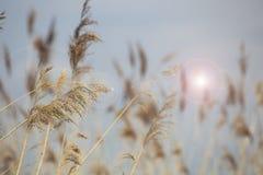 Erba di Reed in fioritura, phragmites australis scientifico di nome, vago deliberatamente, ondeggiante delicatamente nel vento su immagine stock libera da diritti