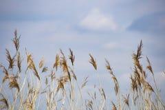 Erba di Reed in fioritura, phragmites australis scientifico di nome, vago deliberatamente, ondeggiante delicatamente nel vento su immagini stock libere da diritti