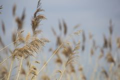 Erba di Reed in fioritura, phragmites australis scientifico di nome, vago deliberatamente, ondeggiante delicatamente nel vento su fotografia stock libera da diritti