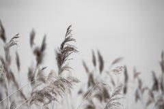 Erba di Reed in fioritura, phragmites australis scientifico di nome, vago deliberatamente, ondeggiante delicatamente nel vento su fotografia stock
