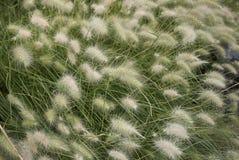 Erba di villosum del Pennisetum fotografia stock libera da diritti