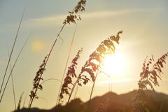 Erba dorata nel tramonto Immagine Stock