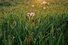 Erba e fiori bianchi Fotografie Stock Libere da Diritti