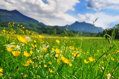 Erba e fiori nel prato alpino Immagine Stock